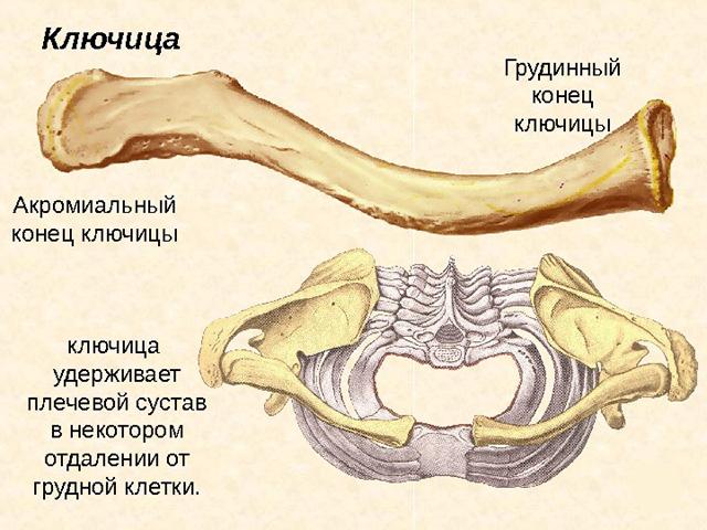 Особенности строения хрупкого органа