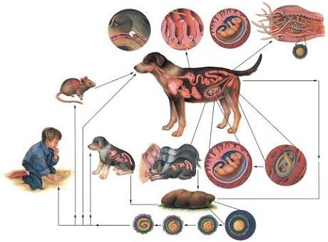 Механизм заражения паразитами
