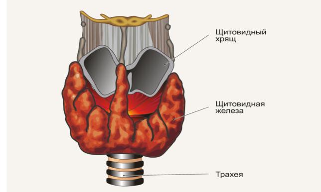 Общие сведения и факты о щитовидке